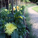 Dahlia Bed - picture by Graham Silvester
